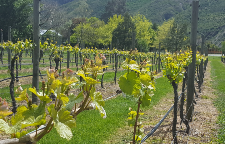Grape Vines in Gibbston Valley.