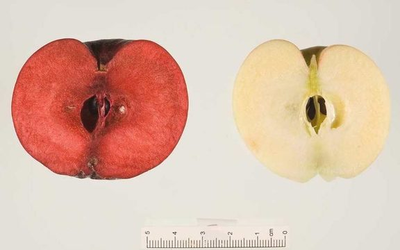 Two cut in half apples. One on left is red through the flesh like a plum.