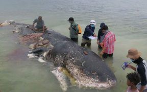A dead sperm whale was found with almost 6kg of plastic inside it on a beach in Indonesia. 21 November 2018