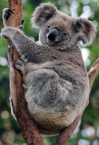 A koala relaxes in the fork of a gum tree in Sydney.