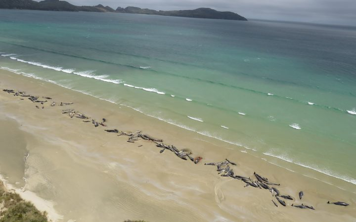 The mass pilot whale stranding at Mason Bay in Rakiura/Stewart Island .