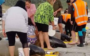 Volunteers and DoC staff help the pygmy whales.