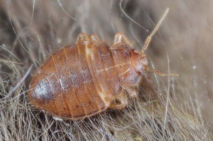 Bed Bug - Cimex lectularius