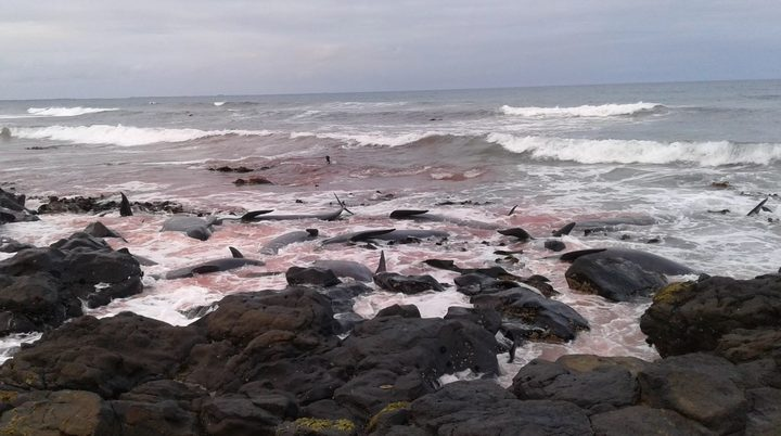 Dead pilot whales washed up on the rocks on Hanson Bay in the Chatham Islands.
