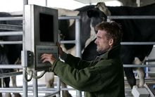 A farmer using technology in a cow milking shed in Bulls.