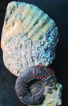 The giant Maungataniwha fossilised ammonite (rear), compared against a smaller, complete ammonite fossil which is 165mm in diameter. The area outlined in red on the smaller specimen indicates the section discovered at Maungataniwha.
