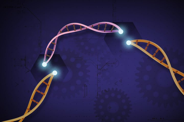 CRISPR-Cas9 is a customisable tool which lets scientists cut and insert small pieces of DNA at precise areas along a DNA strand. This allows for very specific study and modification of genes.