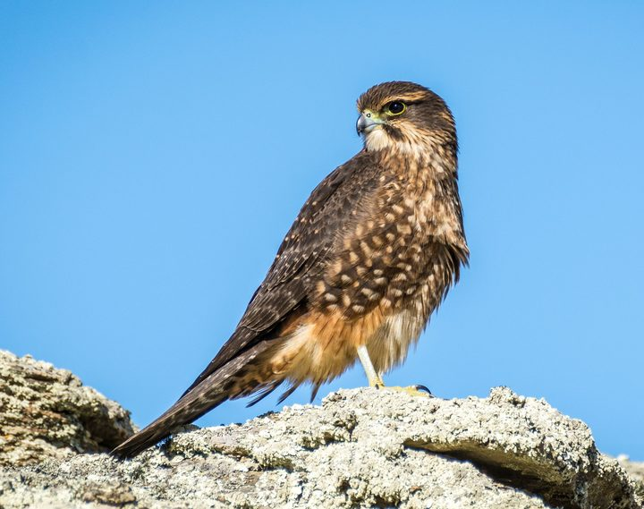 A young eastern falcon. The eastern race is the largest of the four races of NZ falcon (Falco novaeseelandiae).