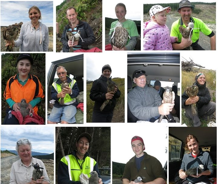 There are plenty of volunteers from Dunedin and the local forestry companies who are keen to help band young falcons.