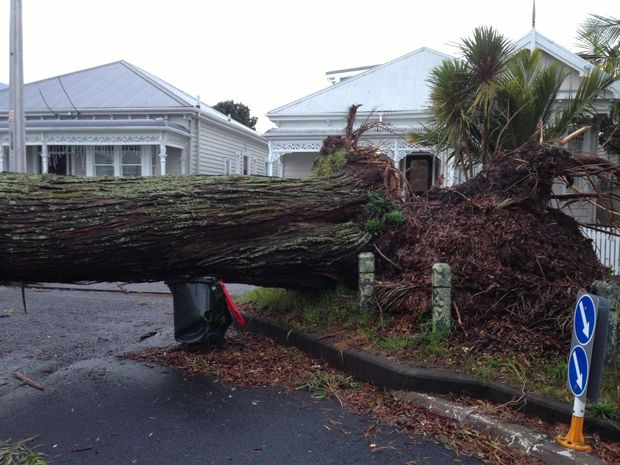 An uprooted gum tree in Herne Bay, Auckland.