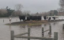 Cows at a property in Island Road, Kaiapoi.