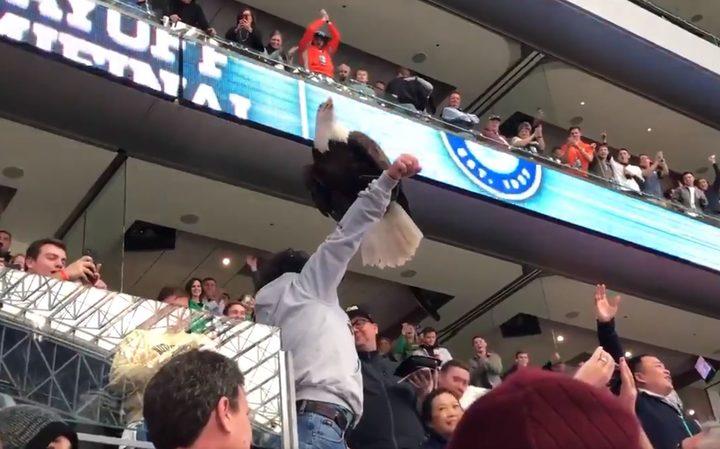 Image result for Huge bald eagle lands on fans at college football match