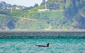 One of the orca spotted in Wellington harbour.