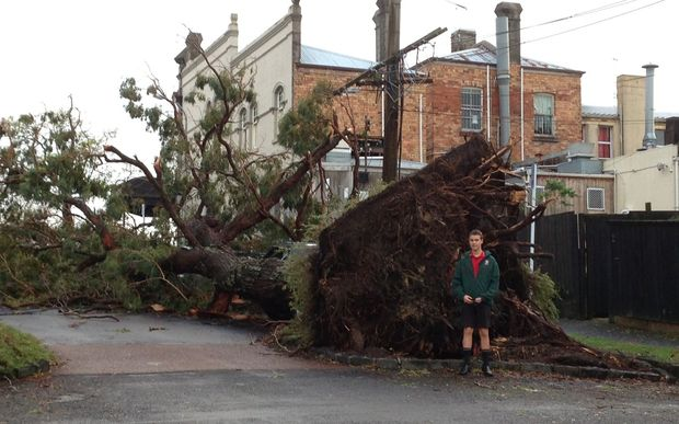 A 40-year-old gum tree in Wanganui Ave - one of two that fell over in Tuesday's storm.
