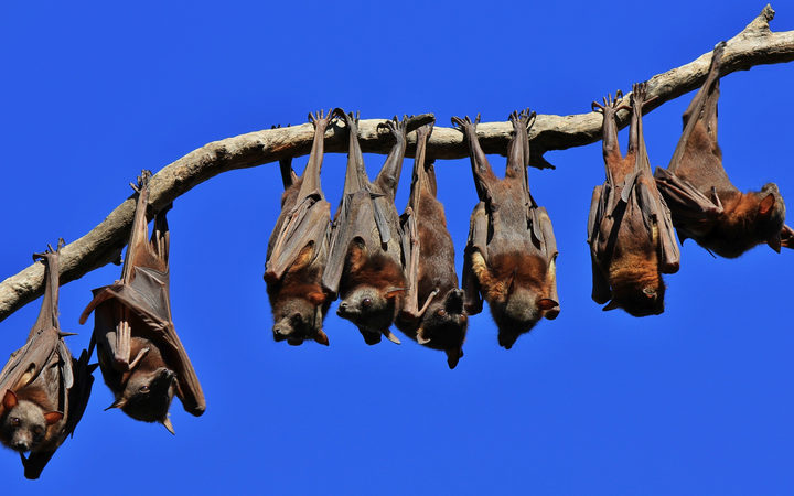 Fruit Bats In Australia