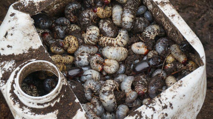 Rhinoceros Beetle Spread Averted On Rota Rnz News