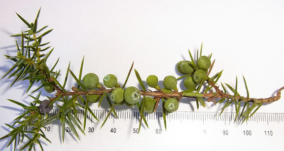 Juniper berries on branch