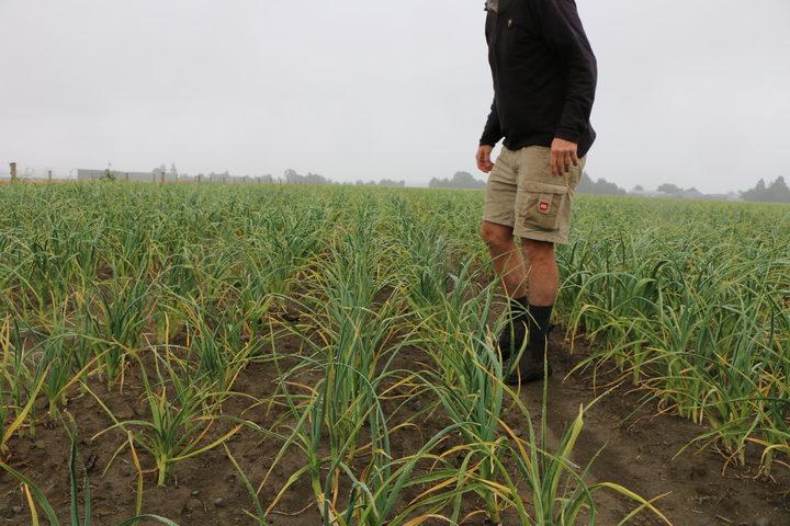 Stu Wright standing in a garlic crop on his Canterbury farm