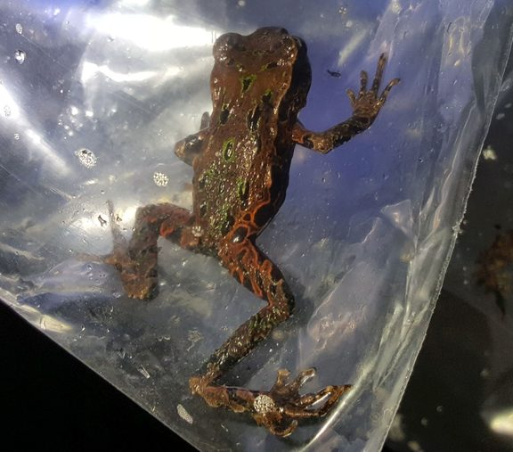 Archey's frogs come in a variety of colours, including brown, green and even orange, with gold flecking.