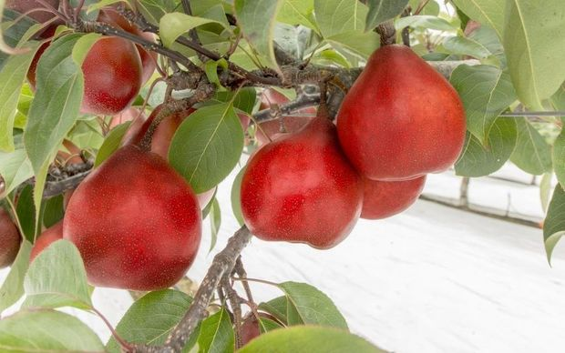 The new pear cultivar will be grown in Australia.