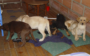 Puppies in a room after they were rescured when drugs were found in them.
