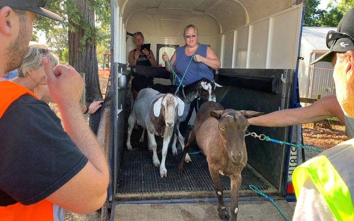 Goats being led to a make-shift campsite for evacuated animals Richmond A&P showgrounds.