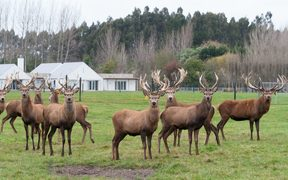 Red deer stags herd grazing on green grass meadow scene. Christchurch, New Zealand
