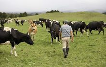 A dairy farmer inspects his herd.