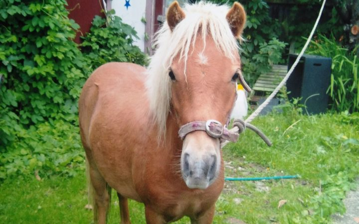 Miniature horse Star was stabbed in Otago