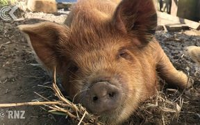 Kunekune pigs in the market for a new home