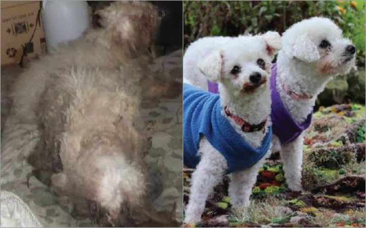 Poodle siblings Daisy and Lola were found neglected for almost two years.
