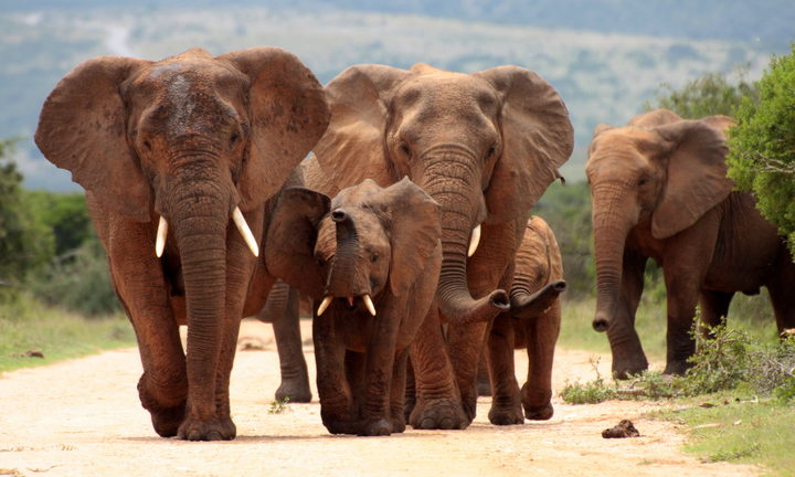 Botswana, country with the most elephants, wants to lift hunting ban