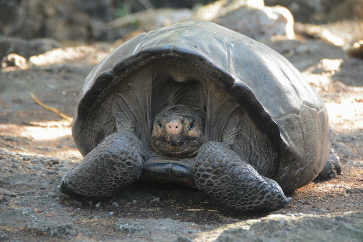 This photo release by the Galapagos National Park, shows a Chelonoidis phantasticus tortoise at the Galapagos National Park in Santa Cruz Island, Galapagos Islands, Ecuador, Wednesday, Feb. 20, 2019.