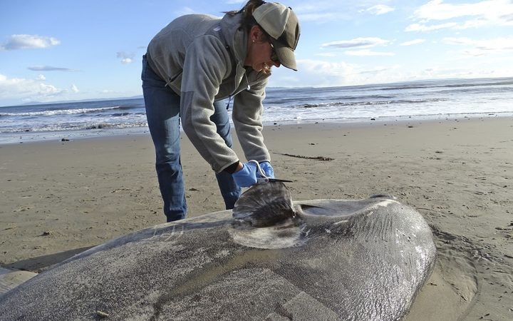Jessica Nielsen, a conservation specialist, examines a beached hoodwinker sunfish at at Coal Oil Point Reserve in Santa Barbara, California.