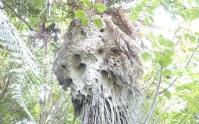 German wasp nest in an area of native bush at Hamurana