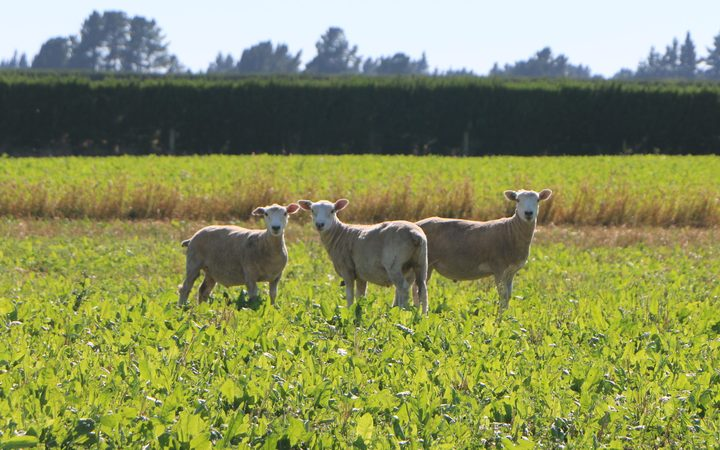 Lambs, bred to have the same fine marbling of Omega-3 fats as in Wagyu beef, seen on the Aylesbury, mid-Canterbury, property of Stu and Debbie Pankhurst.