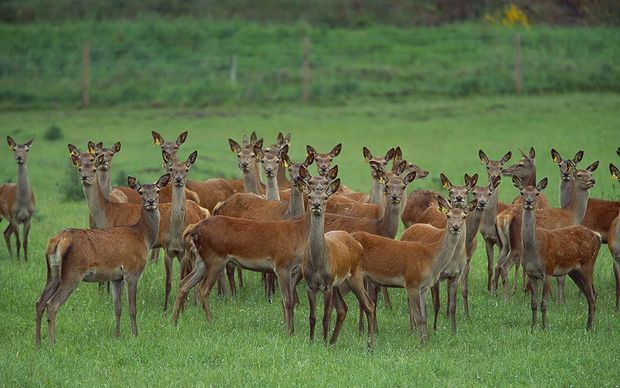 The Alliance meat group aims to have venison products going to China by the end of the year.