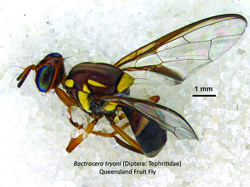 Biosecurity NZ lifts Queensland fruit fly controls in North Shore