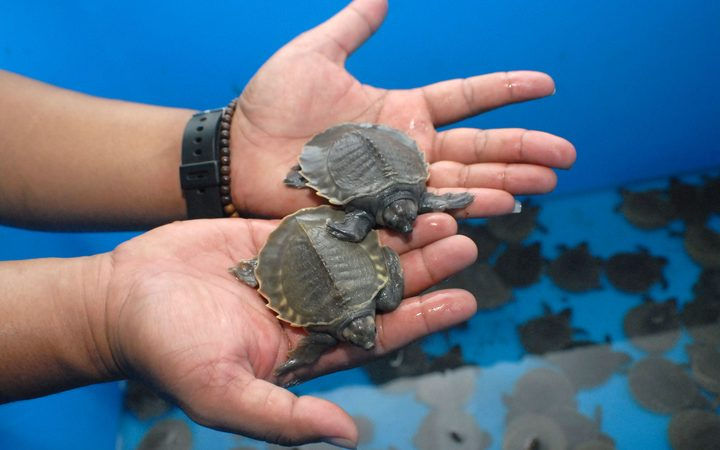 Endangered baby pig-nosed turtles