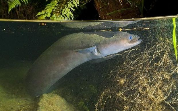 Taking 11 years to process an eel-fishing permit is too long - Judge