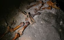 Moa bones at Honeycomb Hill caves.