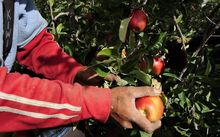 Horticulture New Zealand says Labour's immigration policy would penalise growers using the Recognised Seasonal Employer scheme.