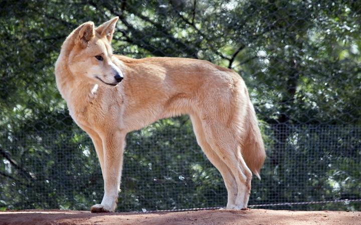 the golden dingo is standing looking for food