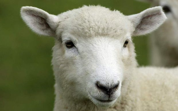 Sheep farmers are to vote on re-introducing the wool levy.