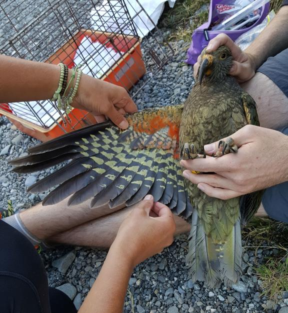 A juvenile kea being banded as part of the Kea Conservation Trust's citizen science sighting project.