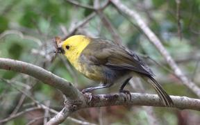 The once rare mohua is now the most common native bird in South Westland's Landsborough Valley.