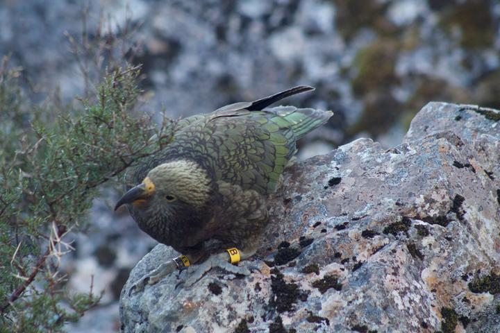 A young male kea banded at Arthur's Pass in March 2019, named Whakamatemate.