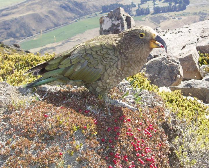 Kea eat a wide range of fruits and seeds, and are very important seed dispensers as they travel long distances.