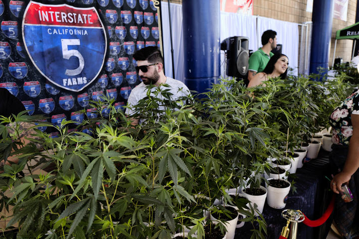 Marijuana clone plants are displayed for sale by Interstate 5 Farms at the cannabis-themed Kushstock Festival at Adelanto, California (file photo, October 2018).