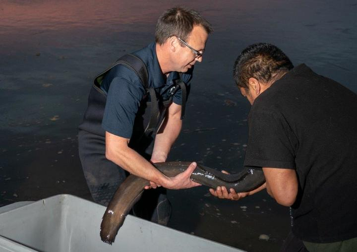 Releasing a tagged female longfin eel at dusk at Port Waikato.
